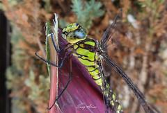 Liblula (argosu) Tags: nature naturaleza aire libre insectos animal macro macrofotografia colorido color colores
