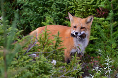 A Bird In The Mouth Is Worth Two In The Bush (Zircon_215) Tags: fox vulpesvulpes prey lunch bird