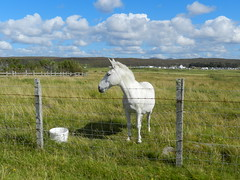 White horse at Big Sands, near Gairloch, Wester Ross, August 2016 (allanmaciver) Tags: white horse big sands wester ross west coast highlands gairloch firld blue sky clouds fence food animal young allanmaciver