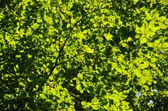 Buchenlicht (Fagus sylvatica); Bergenhusen, Stapelholm (63) (Chironius) Tags: stapelholm bergenhusen schleswigholstein deutschland germany allemagne alemania germania    ogie pomie szlezwigholsztyn niemcy pomienie gegenlicht grn laub rosids fabids buchenartige fagales buchengewchse fagaceae fagoideae buchen baum bume tree trees arbre  rbol arbres  rboles albero rotbuche  faia kayn beuken  bok  rvore aa boom trd fagus