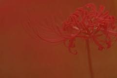 RED (RenField - Toel-ul Laputa) Tags: nikon d800e nikkor 300mm nature flower cluster amaryllis japan jpn kyusyu miyazaki