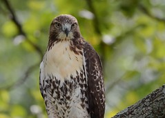 Red-tailed Hawk (Explored 9/23/2016) (JDA-Wildlife) Tags: birds birdsofprey raptors hawks hawkredtailed redtailedhawk nikon nikond7100 tamronsp150600mmf563divc newyorkbotanicalgardens jdawildlife johnny whatbirdbestofday closeup portrait wow explore explored