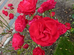 A Mass Of Red Roses ! (Mara 1) Tags: summer flowers roses red petals green grass outdoors