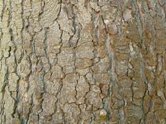 Rinde Spanische Tanne (Jrg Paul Kaspari) Tags: kanzem weingut von othegraven park herbst autumn fall september saar saaraltarm abies pinsapo abiespinsapo spanische tanne rinde textur texture