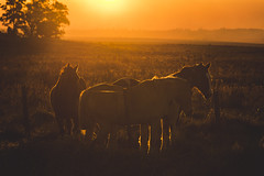 Winter sunset. (Pablin79) Tags: field sky landscape sunset sun light outdoor tree grass silhouette animal colors evening horse dawn farm outdoors dusk backlit afternoon argentina silhouettes mammal goldenhour misiones cavalry posadas