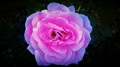 pink glow (MissyPenny) Tags: rose pink pennsylvania pdlaich usa southeasternpa september