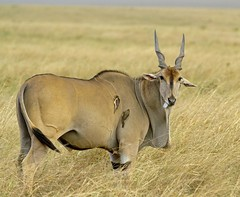 Duh..... (shashin62) Tags: africa kenya wildlife horns safari mara maasai kudu maasaimara lesserkudu beautifulworldchallenges mygearandme