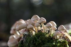 Group Forming (Djenzen) Tags: mushroom canon jeroen jansen paddestoel 40d djenzen