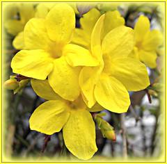 Winter Jasmine! ('cosmicgirl1960') Tags: flowers nature yellow gardens jasmine parks yabbadabbadoo