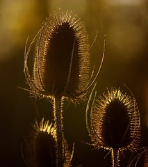 Teasel Glow (Chrissie28IWish! ~ hubby passed away 5th Dec peace) Tags: wild orange brown sunlight plant flower floral spiky stem glow bokeh seedhead teasel backlit prickles yahoo:yourpictures=myautumn yahoo:yourpictures=yourbestphotoof2012 yahoo:yourpictures=light