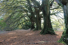 Lewesdon Hill beeches (Stoutcob) Tags: lewesdon