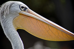Great White Pelican C (larryn2009) Tags: california white bird fall animal yellow zoo sandiego unitedstatesofamerica september 2012 pelecanusonocrotalus sandiegocounty greatwhitepelican sandiegosafaripark