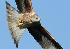 Red Kite Milvus milvus (Iain Leach) Tags: kite bird image wildlife photograph raptor predator birdofprey redkite milvusmilvus birdphotography wildlifephotography