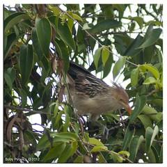 Anum-branco (Boby Pirovics) Tags: tree bird sony boby braganapaulista a700 anumbranco gmcb alpha700 sonyalpha700 pirovics bobypirovics