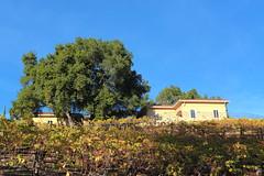 Autumn Grape Vines 2 (peptic_ulcer) Tags: autumn fall canon eos vines grape vinyard 5d3