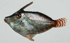 MONACANTHIDAE - Filefish (EAF-Nansen project) Tags: africa fish project marine vessel management research rv approach bateau fao ecosystem afrique projet scientific imr pêche responsable comoros fisheries recherche norad fridtjofnansen eafnansen