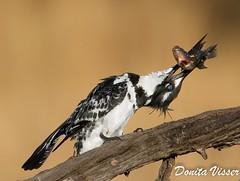 Pied Kingfisher (Donita Visser) Tags: africa bird nature birds canon southafrica wildlife kingfisher 7d pictorial pilanesberg piedkingfisher mankwe cerylerudis bontvisvanger canon7d vhotoworx