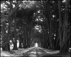 Cypress Tunnel (Summicron20/20) Tags: camera field inch kodak tmax c traditional 8x10 100 fujinon kb 450mm 100tmx f125 canham