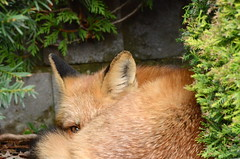Napping (with one eye open) (HansWobbe) Tags: wildlife explore fox vixen redfox flickrsbest frhwo frhwofavs exploreh