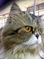 chicken (som300) Tags: cat pet housecat chicken cameraphone motorola zn5