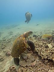 whole lotta turtles (bluewavechris) Tags: ocean life blue sea brown green nature water animal coral swim canon hawaii marine underwater snorkel turtle reptile wildlife dive shell maui reef creature flipper 1022 seasea t1i highqualityanimals