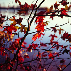 mosaic (furrycelt) Tags: autumn sunlight lake fall 6x6 film water leaves mediumformat square leaf fuji branches velvia bronica shore squareformat manual seiko sq e6 fujivelvia fujivelvia100 filmcopy harrislake bronicasqb 80mmf28 zenzabronica ps80mm newhillnc shearonharrisreservoir