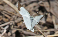 CU12_1510a (jerryoldenettel) Tags: white butterfly insect cuba sulphur 2012 pieridae eurema euremadaira barredsulphur