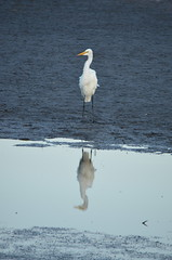 Great egret and its reflection (vacationer1901) Tags: florida alligator greatblueheron whiteibis greategret snowyegret tricoloredheron anhinga shorebirds stmarksnationalwildliferefuge commonmoorhen redheadduck queenbutterfly glossyibiswoodstork