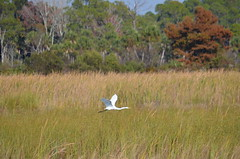 Incoming great egret (vacationer1901) Tags: florida alligator greatblueheron whiteibis greategret snowyegret tricoloredheron anhinga shorebirds stmarksnationalwildliferefuge commonmoorhen redheadduck queenbutterfly glossyibiswoodstork