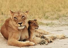 Lioness & cub (paulafrenchp) Tags: africa safari hwange littlemakalololodge