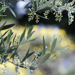 olives setting with daisy bush bokeh (Seakayem) Tags: tree yellow bokeh sony olive canberra 135 pentacon f28 squarecrop slt belconnen a55 bokehmonster