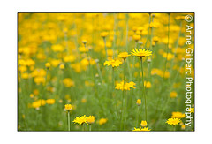 Yellow Chamomile (Winterspeak) Tags: uk flowers summer england plants plant flower color colour yellow horizontal gardens garden landscape golden petals flora focus colorful europe soft bright britain many background united great july kingdom cotswolds gloucestershire petal gb bloom multiple flowering summertime colourful marguerite blooms mass asteraceae rococo painswick masses 2012 selective glos chamomile cotswold camomile dyers anthemis mayweed tinctoria annegilbert