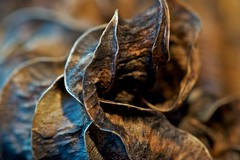 Blown Leaf (Broot Thanks for 1 million views!) Tags: november blue autumn usa dog brown plant macro fall nature closeup garden dead leaf bokeh decay maine newengland science blow fallen rib curve hosta tenantsharbor mygearandme
