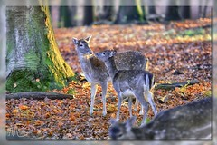 deer in autumn forest (Der Michl) Tags: autumn trees red brown color green fall nature colors yellow forest germany europe deer nrw leafs dortmund borderfx