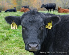 Sixty One (DMoutray - Denny Moutray Photography) Tags: dmoutray nature steer angus 2012 nikond600 illinois lerna