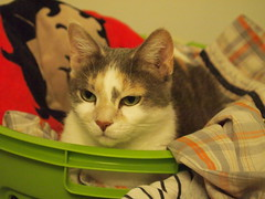 Queen of the Hamper (Raccoon Photo) Tags: pet cats baby white cute love beautiful beauty smile animal cat fur cozy bed bedroom eyes friend feline pretty nap sleepykitty little sweet sleep sassy unique slumber gorgeous small adorable kitty content ears personality cutie whiskers greeneyes catnap sleepy tiny cuddly calico cuddle snooze aww napping sweetie lovely naptime cateyes gaze cuddles whitecat beautifuleyes hamper rescued pinknose feisty comfy dilutecalico rescuecat kittycat sleepycat catportrait prettykitty littlecat cuteanimal perkyears littlekitty cattitude cuddlebug cattycat cuddlycat turquoiseeyes tricolorcat