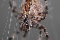 Kreuzspinneneindrcke (Etching Stone) Tags: shadow macro net thread garden spider web silk hanging spinne araa patience netz kreuzspinne arachnophobie araneus armiarma sabar    pauk rmcek tlmodighed kngul   kesabaran    silkkilankaa      araigne