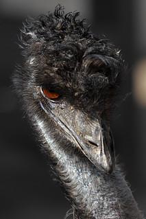 Eye Contact 2/6  --- Emu (Santa Ana Zoo)