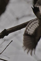 Red-headed Woodpecker Wing Pattern (Steve Kacir) Tags: bird animal dinosaur pennsylvania reptile aves pa woodpeckers tetrapod animalia vertebrate reptilia redheadedwoodpecker melanerpeserythrocephalus montgomerycounty theropoda dinosauria pici saurian chordate chordata metazoa bilateria deuterostomia craniata vertebrata gnathostomata teleostomi osteichthyes sarcopterygii tetrapoda amniota romeriida diapsida archosauromorpha archosauria saurischia coelurosauria maniraptora euornithes neornithes sauria piciformes eukaryote picidae norristownfarmpark melanerpes eukaryota neoaves deuterostome neognathae archosaur picinae teleost amniote craniate diapsid dendropicini reptiliomorpha unikont opisthokont
