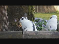 Rory and Moko (Tjflex2) Tags: boy pets canada cute rabbit bunny bunnies girl vancouver mammal furry bc friendship fuzzy conejo small adorable cuddly rabbits coelho playful lapin usagi hrs krolik kanin toki houserabbitsociety lagomorpha leporidae lepus fenek iepure vrra muyal kelinci ilconiglio vancouverrabbitrescue coinin sungura leporidea