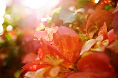 I colori del bosco - Dec 4, 2012 Explore (Isabella Pirastu) Tags: autumn red leaves foglie woods autunno rosso bosco