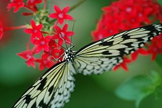 Full winged Rice Paper butterfly nectaring on red Pentas