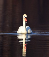 Yes, I'm Still Beautiful! (McDuck17) Tags: park reflection bird water swan pond nj thegalaxy flickrdiamond mygearandme mygearandmepremium mygearandmebronze freedomtosoarlevel1birdphotosonly freedomtosoarlevel2birdphotosonly jacksonspondclark freedomtosoarlevel2birdsonly