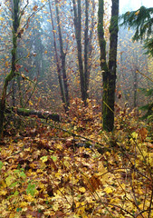 Light and Leaves (h_roach) Tags: autumn trees light mist fall nature vertical horizontal misty fog forest maple log woods branches nopeople evergreen bark fallen cascades cottonwood pacificnorthwest trunks washingtonstate tangle iphone filtered underbrush undergrowth cascademountainrange