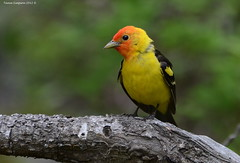 Western Tanager (Piranga ludoviciana) (Photography Through Tania's Eyes) Tags: canada tree bird nature animal fauna photography photo bill wings flora nikon branch photographer bc image britishcolumbia okanagan wildlife feathers photograph tanager okanaganvalley westerntanager peachland pirangaludoviciana copyrightimage trepaniercreekgreenwayregionalpark nikond7000 taniasimpson