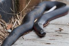Watching me (Geoff Main) Tags: snake australia act redbelliedblacksnake tidbinbillanaturereserve canonef100400f4556lisusm canon7d sanctuarywetlands
