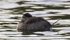 BI121119-539-Ruddy Duck (lgooch) Tags: female texas adult southpadreisland ruddyduck oxyurajamaicensis taxonomy:binomial=oxyurajamaicensis november2012 southpadreislandbirdingandnaturecenter