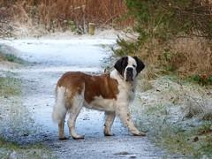Winter 2012 (Haley Redshaw) Tags: winter portrait dog pet snow cute dogs nature beautiful up saint st bernard portraits giant photography photo big interesting close adorable scene willow gentle