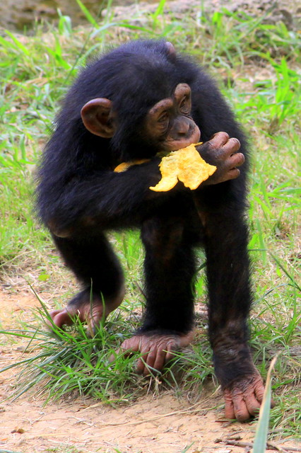 Young Chimpanzee - Jackson Zoo