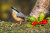 Festive Nuthatch (Nigel Dell) Tags: winter birds flickr wildlife places hampshire fleet nuthatch fsg ngdphotos